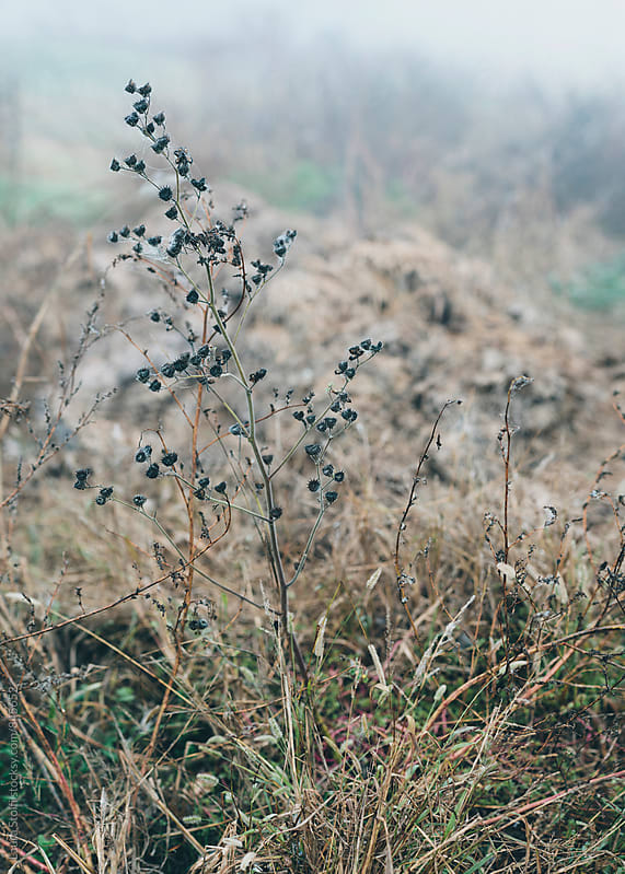 Detail of withered wild plant in italian countryside in winter by Laura Stolfi for Stocksy United