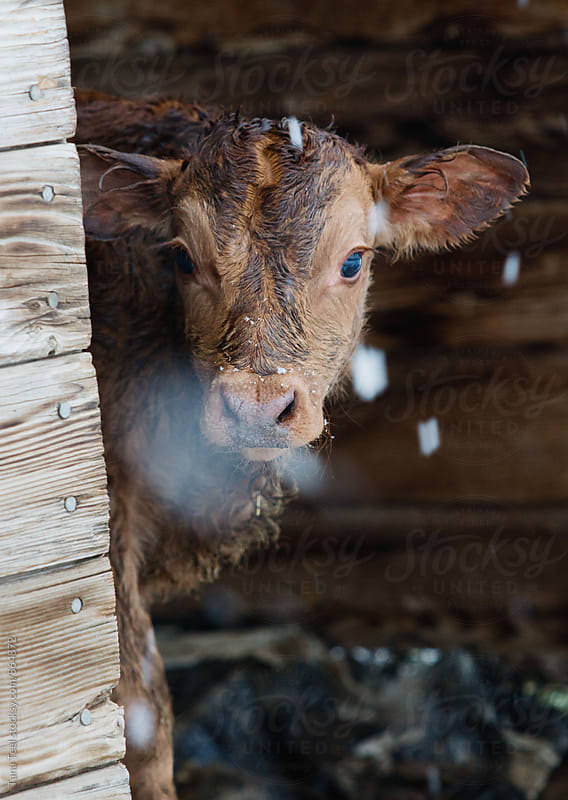 newborn calf peeks around corner of shed on snowy day by Tana Teel for Stocksy United