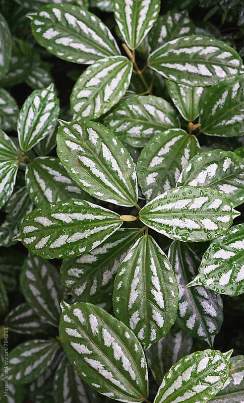 Exotic plant with beautiful variegated leaves by Marcel for Stocksy United