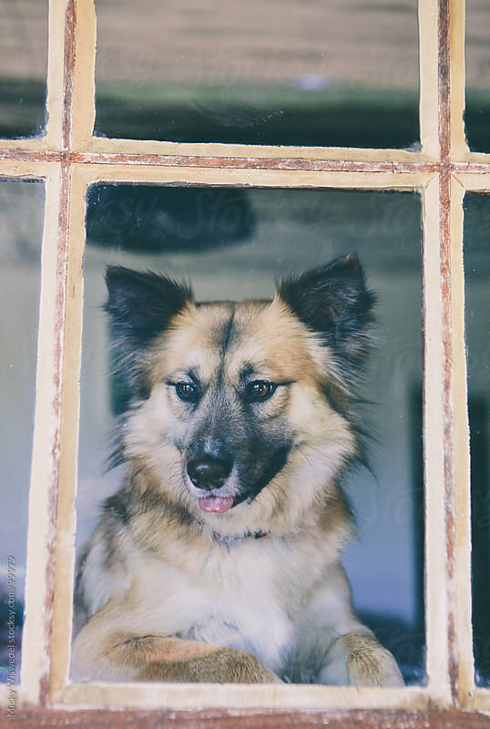 Cute dog looking out the window by Micky Wiswedel for Stocksy United