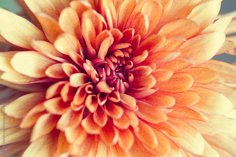 Macro of center of peach mum flower by Kerry Murphy for Stocksy United