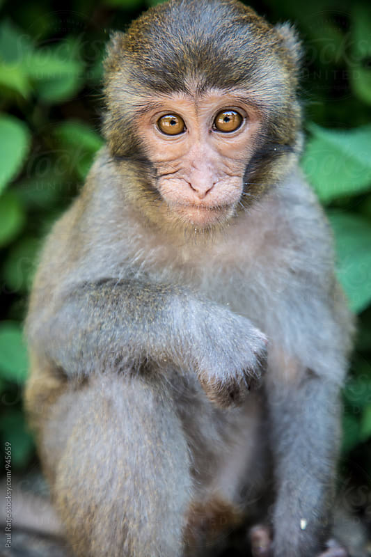 Taiwan Macaque Monkey by Paul Ratje for Stocksy United