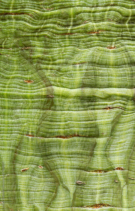 Snakebark maple bark, closeup by Mark Windom for Stocksy United