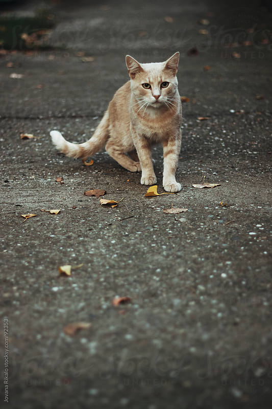 Cat is preparing to run away by Jovana Rikalo for Stocksy United