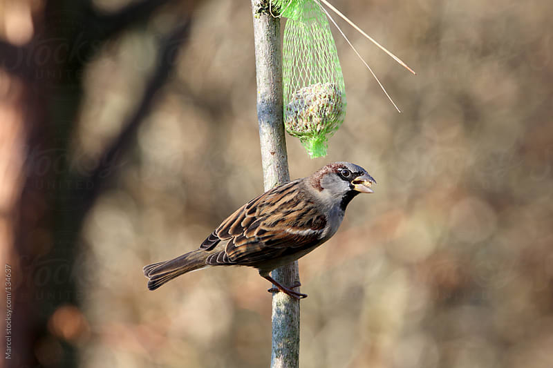House sparrow eating from a net by Marcel for Stocksy United