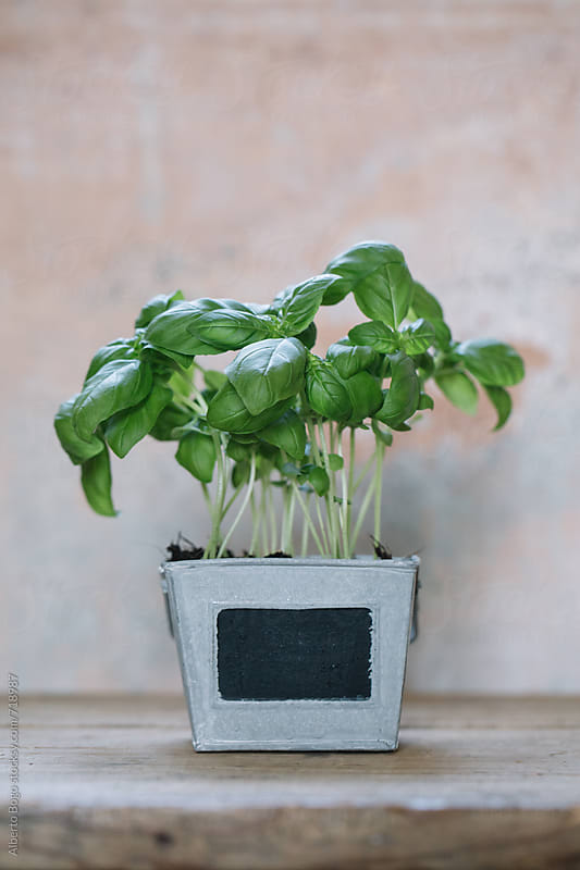 A fresh plant of basil in a vase on wooden table by Alberto Bogo for Stocksy United