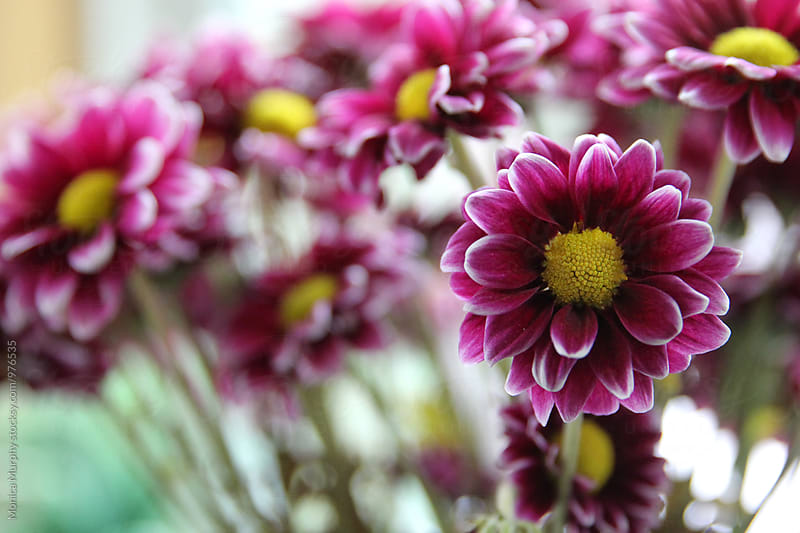 Bunch of Purple Daisies, one flower in focus