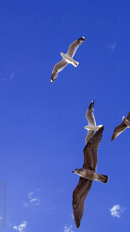 Australian coastal seagulls in flight by Robert Lang for Stocksy United