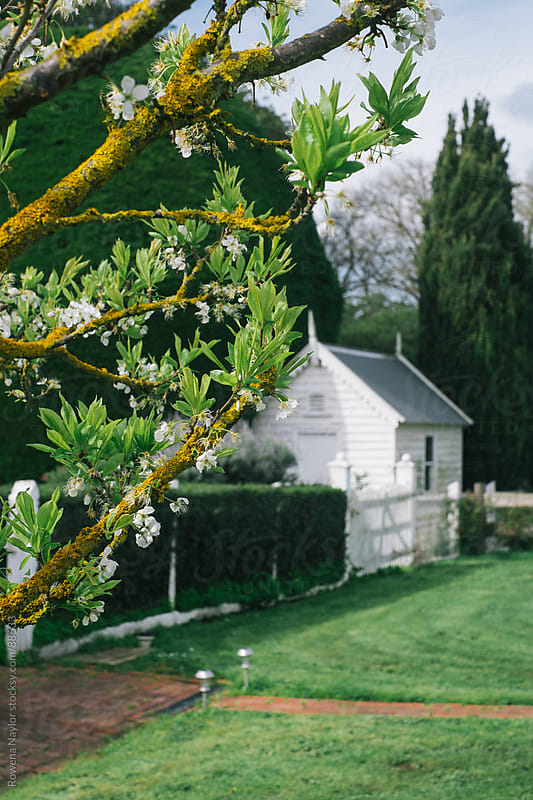 Fruit tree starting to blossom in Spring by Rowena Naylor for Stocksy United