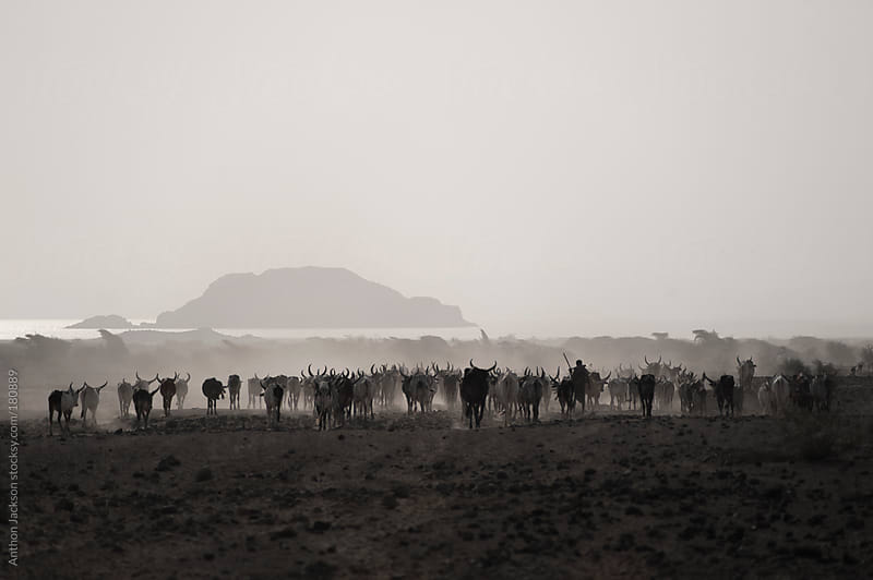 Afar Cattle Drive by Anthon Jackson for Stocksy United