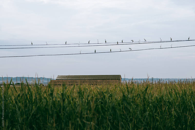 a group of birds sitting on wires by Javier Pardina for Stocksy United