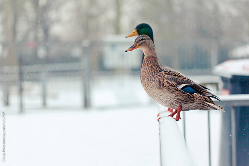 Two ducks sitting on a fence in the snow by Cindy Prins for Stocksy United