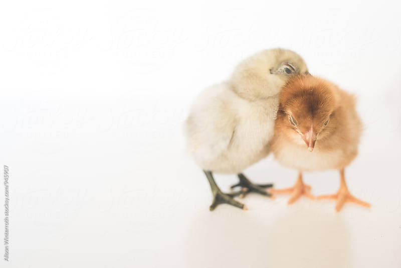 Two Baby Chicks Sleeping Together by Alison Winterroth for Stocksy United
