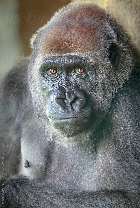 Female Lowland Gorilla by alan shapiro for Stocksy United