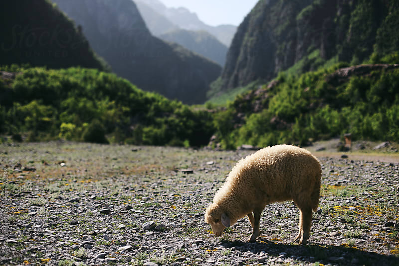 Sheep in a valley by Freek Zonderland for Stocksy United