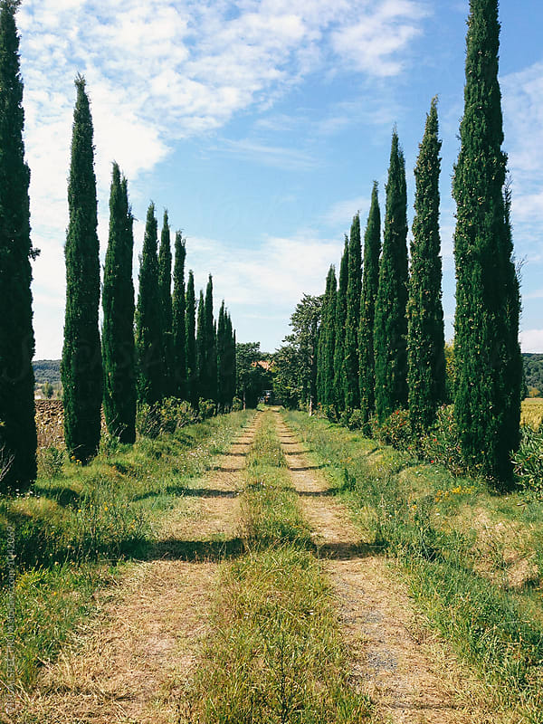 Tuscany - Poplar Trees Along Countryside Road by VISUALSPECTRUM for Stocksy United