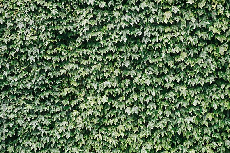 Ivy by Sam Burton for Stocksy United