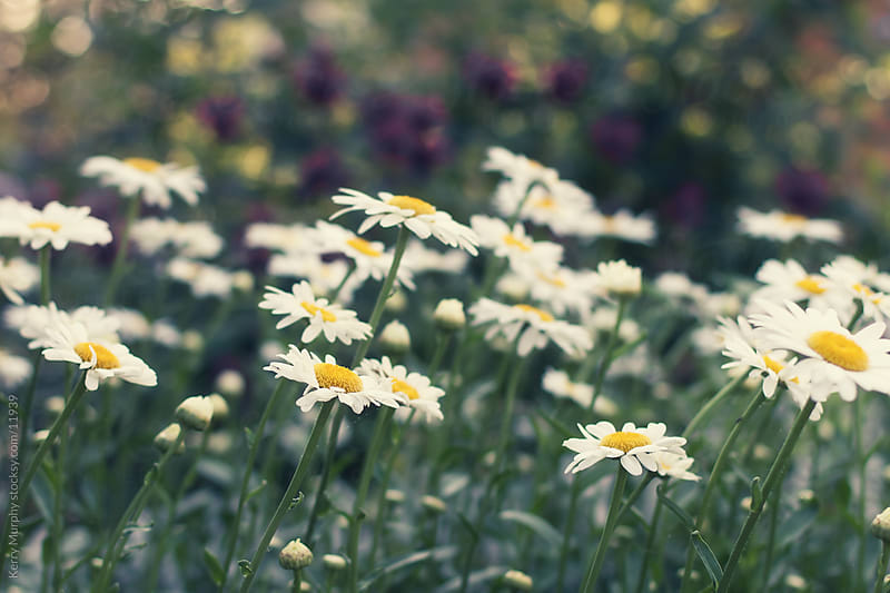 Field of daisy flowers in sun by Kerry Murphy for Stocksy United
