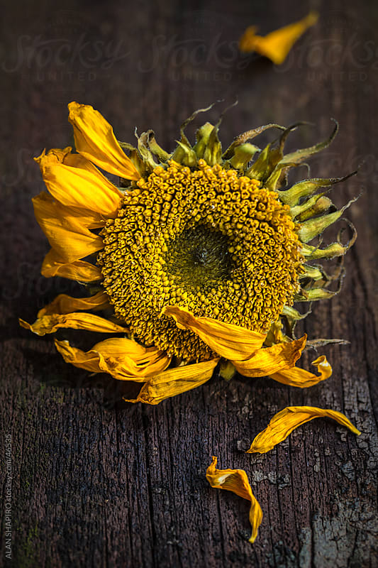 Sunflower feeling frazzled by alan shapiro for Stocksy United