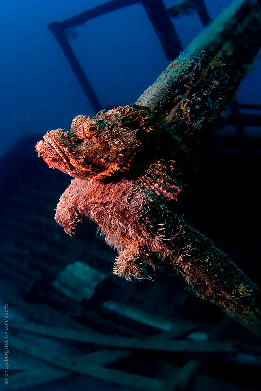 Red Scorpion sitting on the artificial coral reef  underwater in Malaysia by Soren Egeberg for Stocksy United