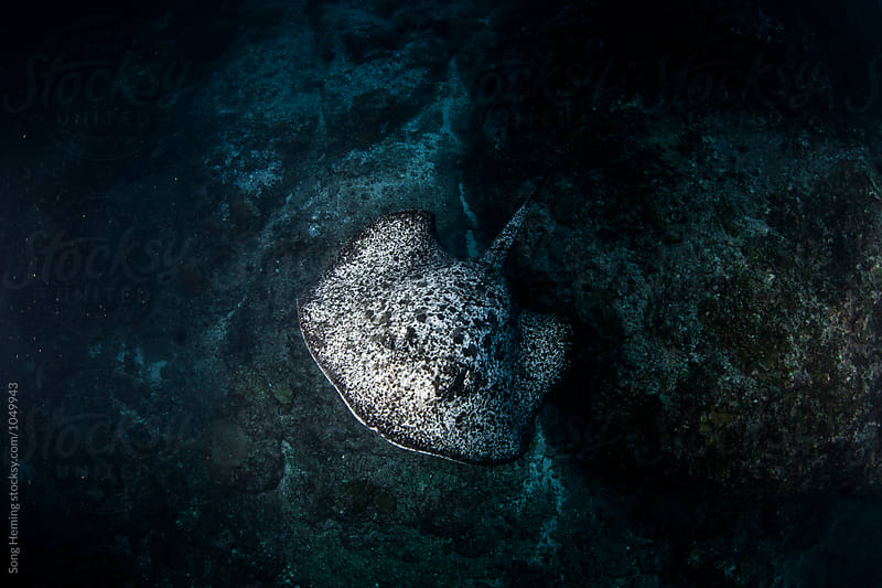 A  marble ray swimming up on the reef by Song Heming for Stocksy United