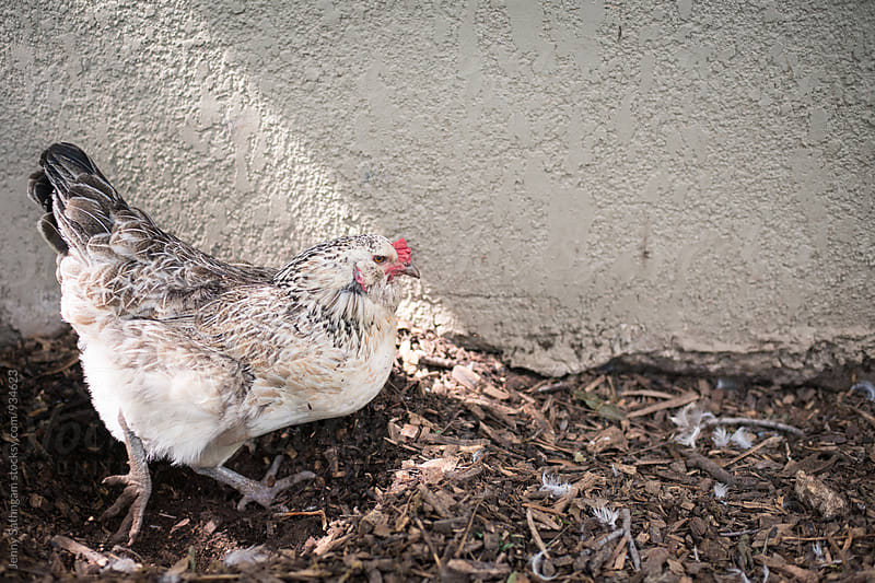 Mother Hen digging a nest by Jenny Sathngam for Stocksy United