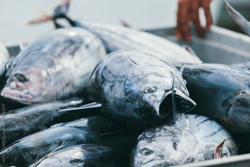 Fishermans in Fish Market with Fresh Tunas by VICTOR TORRES for Stocksy United