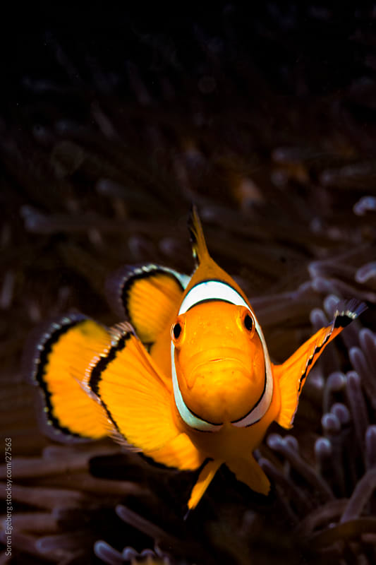 Clown fish swimming in sea anemone on the coral reef underwater in Thailand by Soren Egeberg for Stocksy United
