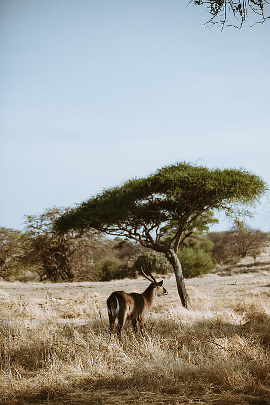 antelope in the wild in the african bush of Tanzania by Levi Tijerina for Stocksy United