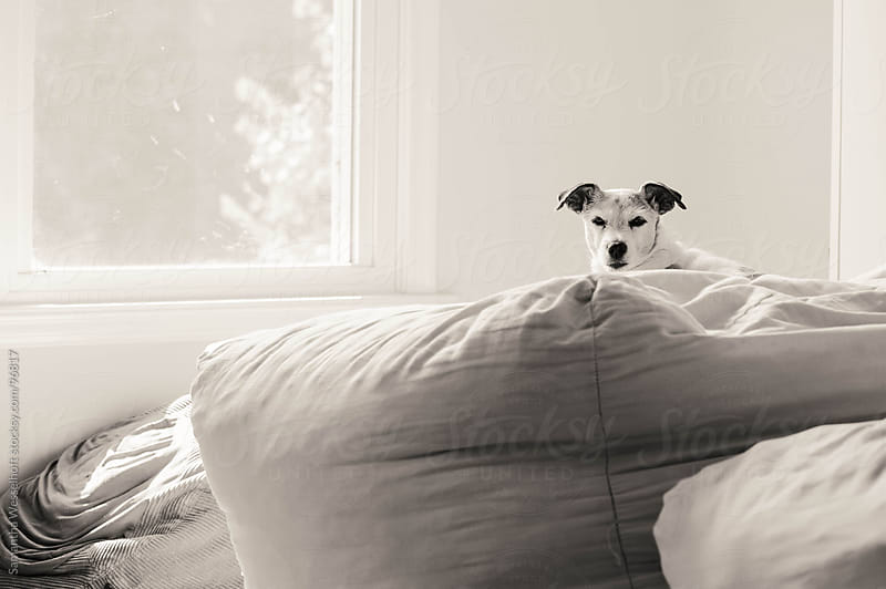 jack russell in the sunshine by Samantha Wesselhoft for Stocksy United