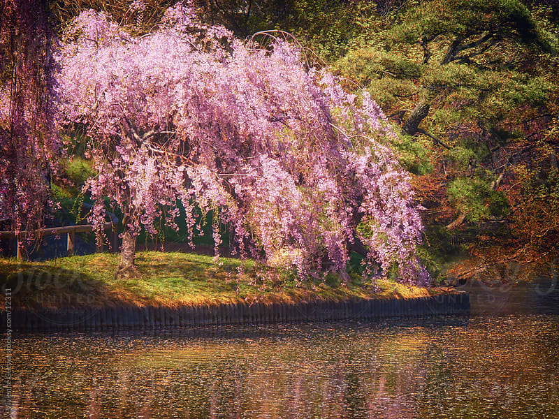 Weeping Cherry Tree in Full Bloom by Vivienne Gucwa for Stocksy United