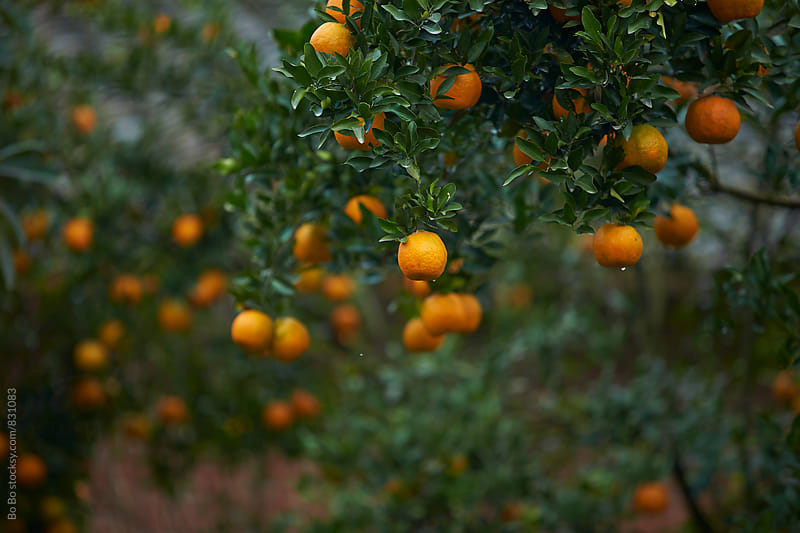 orange on the tree by Bo Bo for Stocksy United