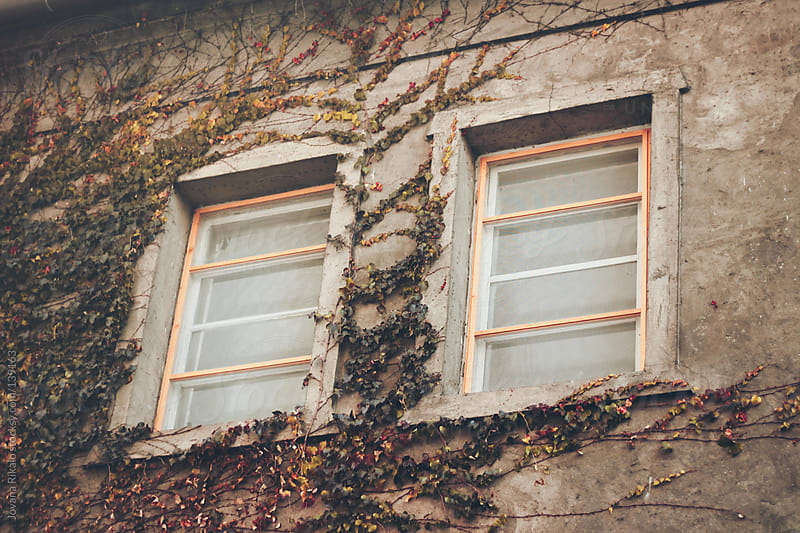 Ivy growing up exterior of building, around the windows by Jovana Rikalo for Stocksy United