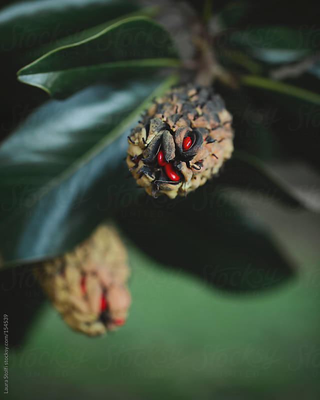 Close-up of red seeds into Magnolia grandiflora fruits on the plant by Laura Stolfi for Stocksy United