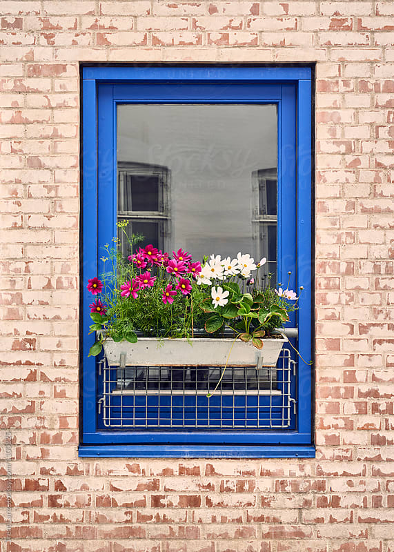 Blue framed window with blooming flowers  by Trent Lanz for Stocksy United