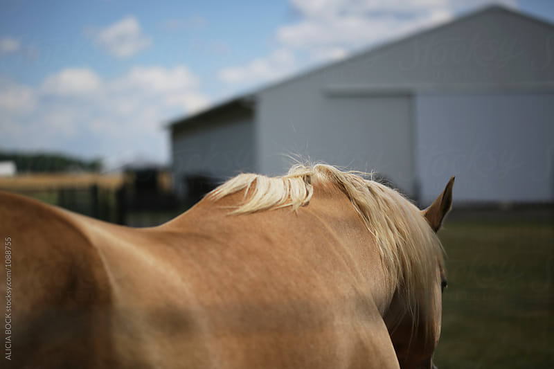 A Light Brown Horse Walking Towards A Barn by ALICIA BOCK for Stocksy United