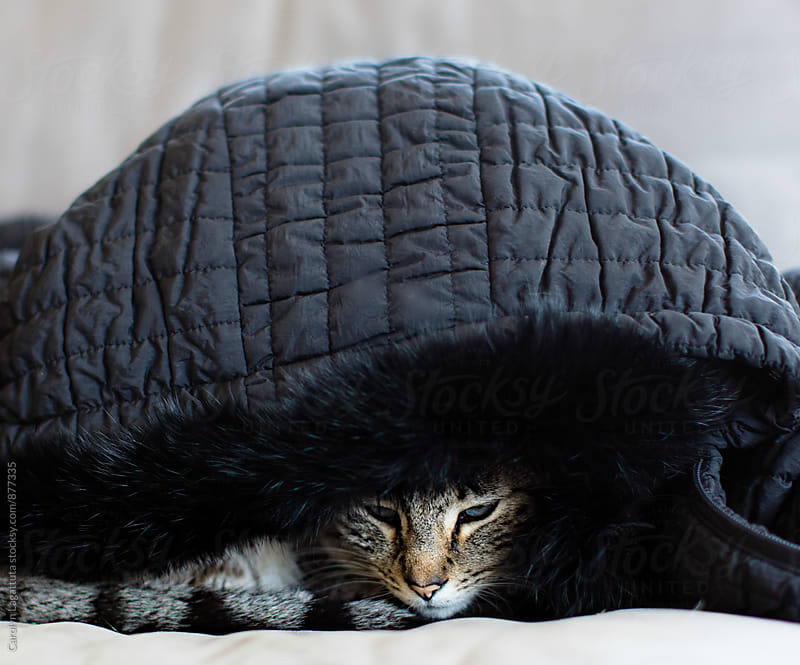 Siamese cat hiding under a black winter coat by Carolyn Lagattuta for Stocksy United