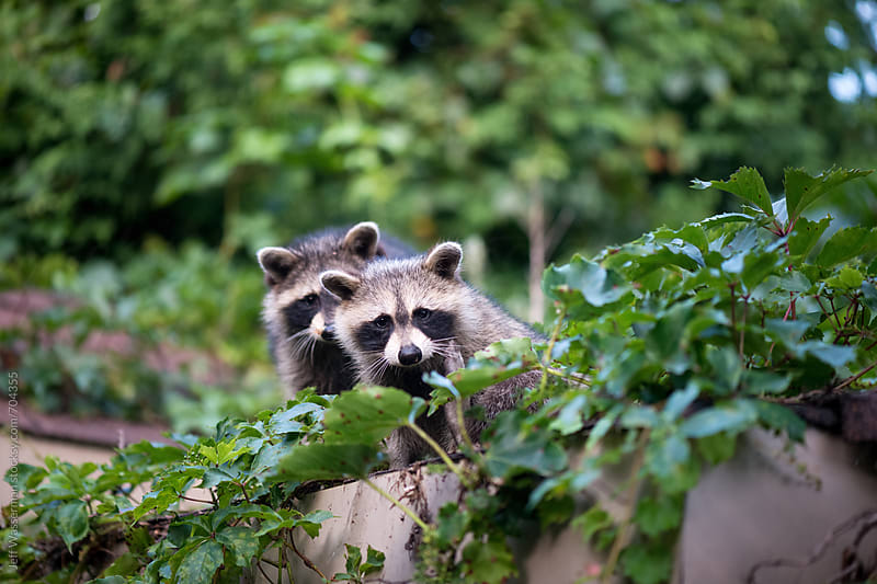 Raccoons  by Jeff Wasserman for Stocksy United