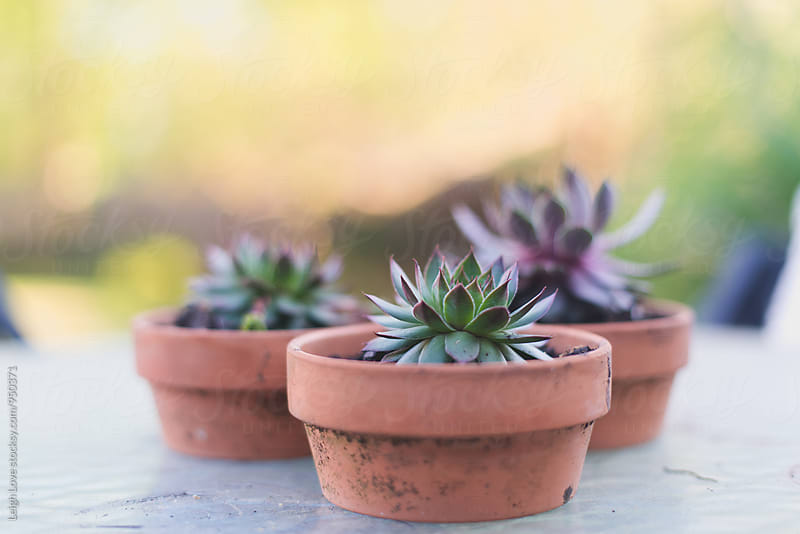Succulents in Terracotta Pots by Leigh Love for Stocksy United