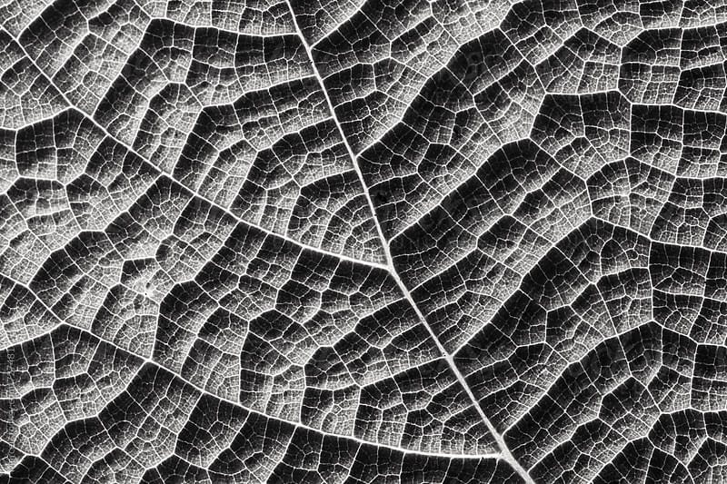 Leaf macro in black and white by Marcel for Stocksy United