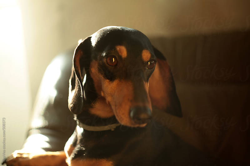 Cute dachshund indoors  by VeaVea for Stocksy United