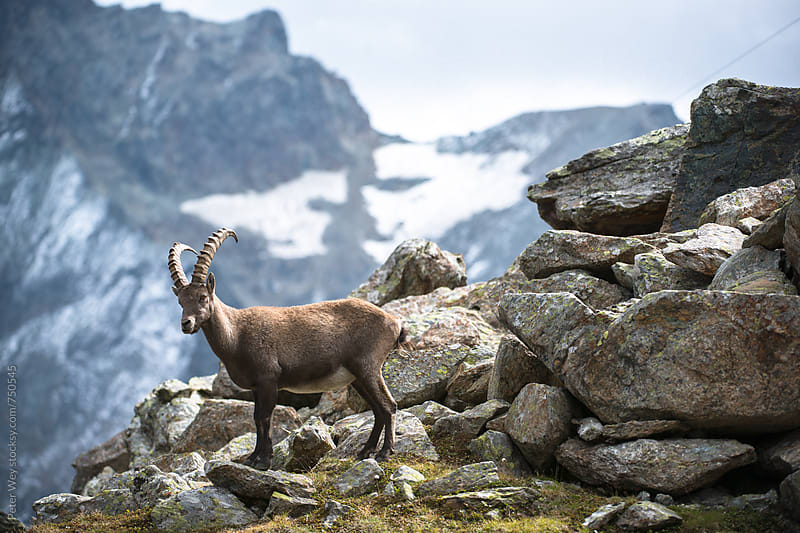 Alpine ibex by Peter Wey for Stocksy United