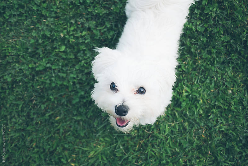 White Maltese Dog Portrait by HEX. for Stocksy United