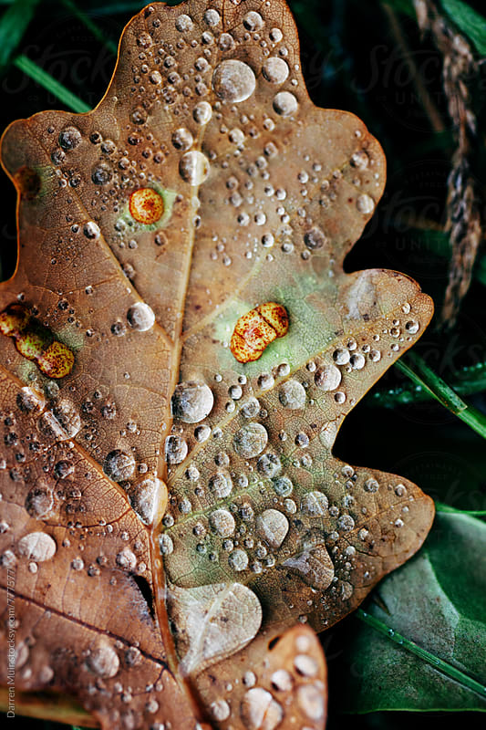 Macro: Tiny drops of dew on a fallen Autumn leaf. by Darren Muir for Stocksy United