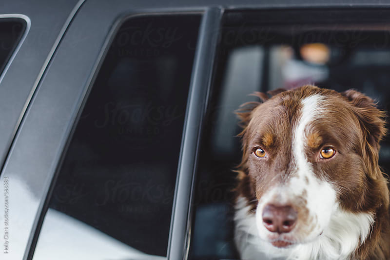 Dog's head leaning out a car window by Holly Clark for Stocksy United