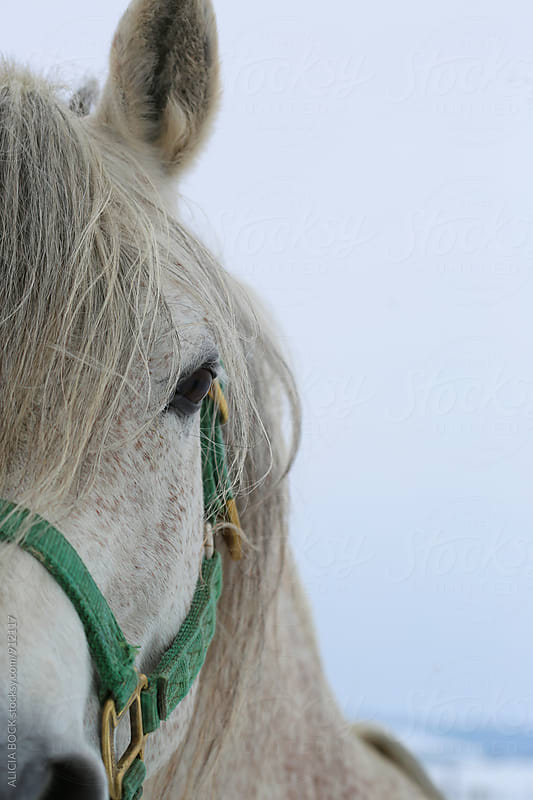 Close Up Of A White Horse Wearing A Green Bridle by ALICIA BOCK for Stocksy United