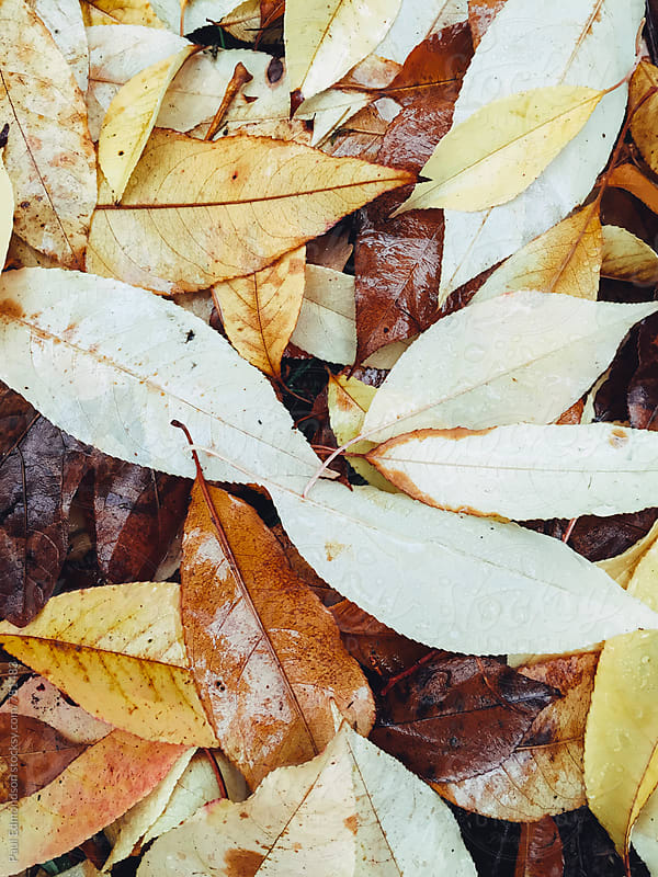 Close up of wet leaves in autumn by Paul Edmondson for Stocksy United
