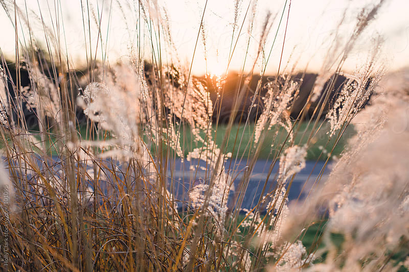 Setting Sun peaks through Autumn Grasses. by Holly Clark for Stocksy United