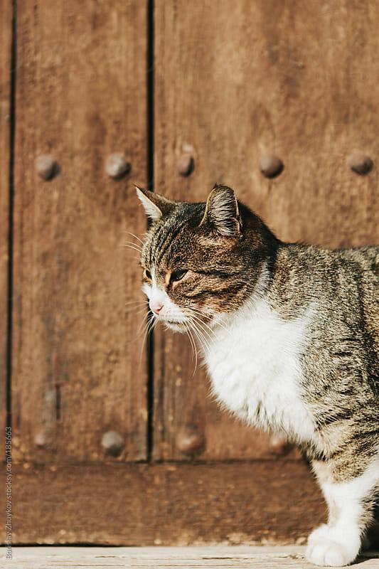 Cat on wooden door background by Borislav Zhuykov for Stocksy United
