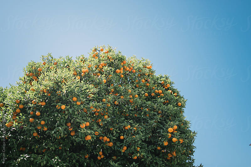 Orange tree by Adrian Cotiga for Stocksy United
